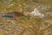 barbel-spawning-in-river.jpg