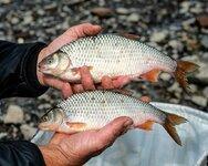 020-A-brace-of-quality-tidal-Thames-roach-1024x818.jpg
