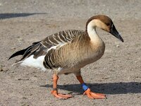 swan goose.jpeg