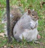 Fat Squirrel.JPG