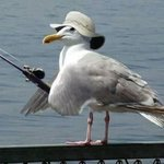 Gull fishing.JPG