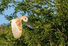 25-05-20 d750  barn owl (4 of 6).jpg